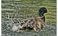 Mallard Duck by Dave Mather